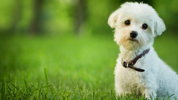 Best Maltese Rescues For Adoption: Top 10 Picks!