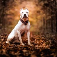 Portrait of white American pitbull terrier