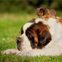 saint bernard dog with small puppy