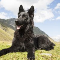 Black German Shepherd Dog with pointed ears waiting for a command lying on the grass