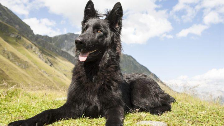 Black German Shepherd – The Truth About This Rare German Shepherd Color