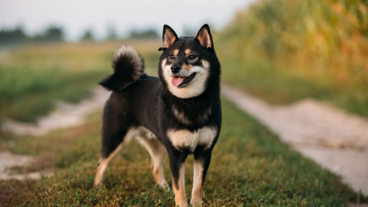 Black Shiba Inu: What You Need To Know Before Buying One