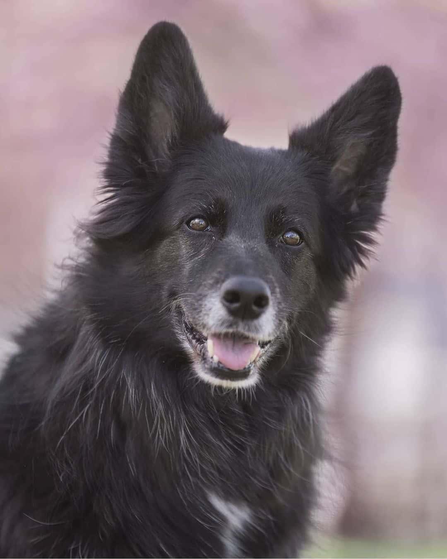 Border Collie GSD mix dog