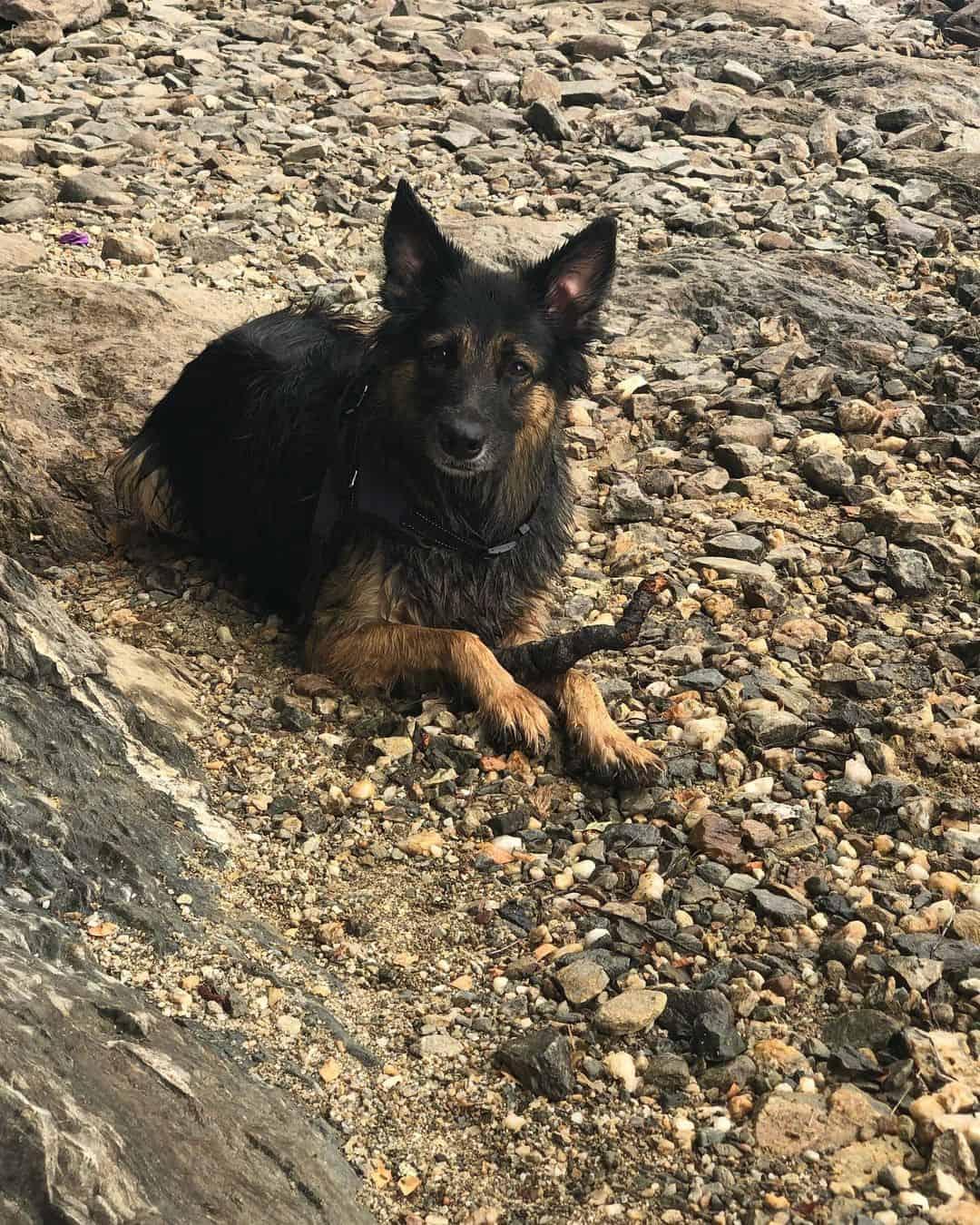 Border Collie German Shepherd dog
