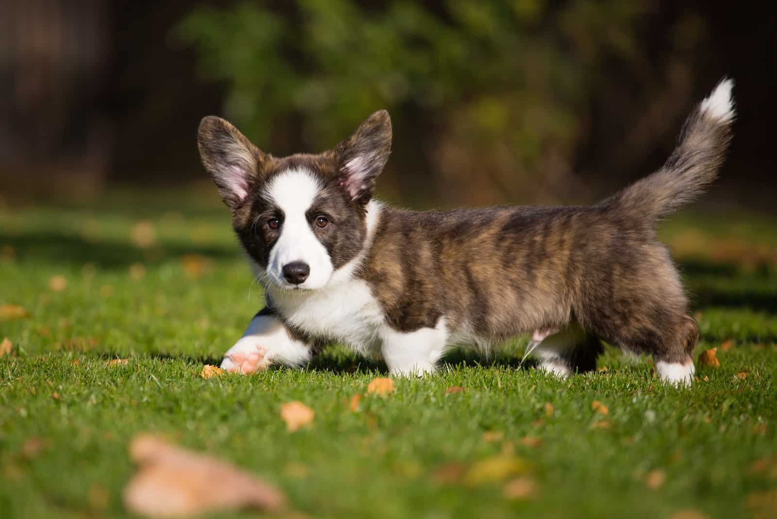 Brindle Welsh Corgi Cardigan puppy on a grass