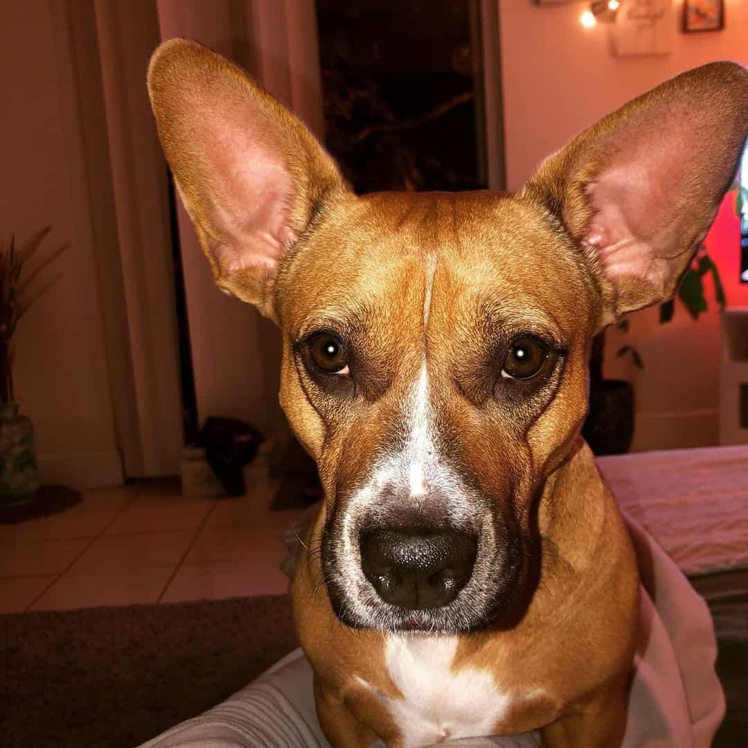 Corgi Boxer Mix dog