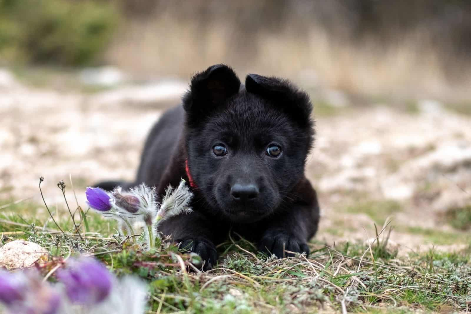 Cute puppy of a black German shepherd lies on the grass in spring