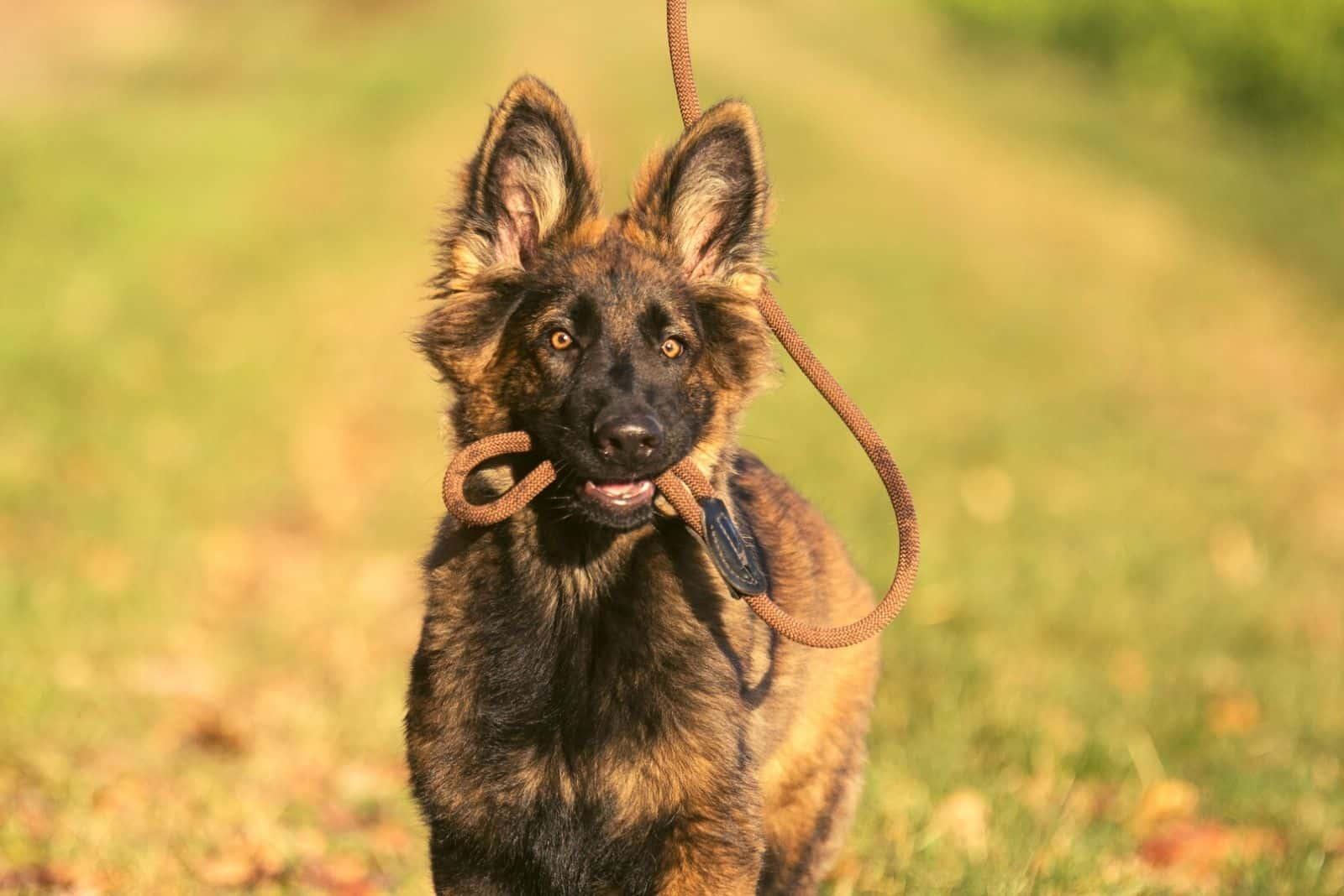Dark sable longcoated German shepherd puppy carrying his leash