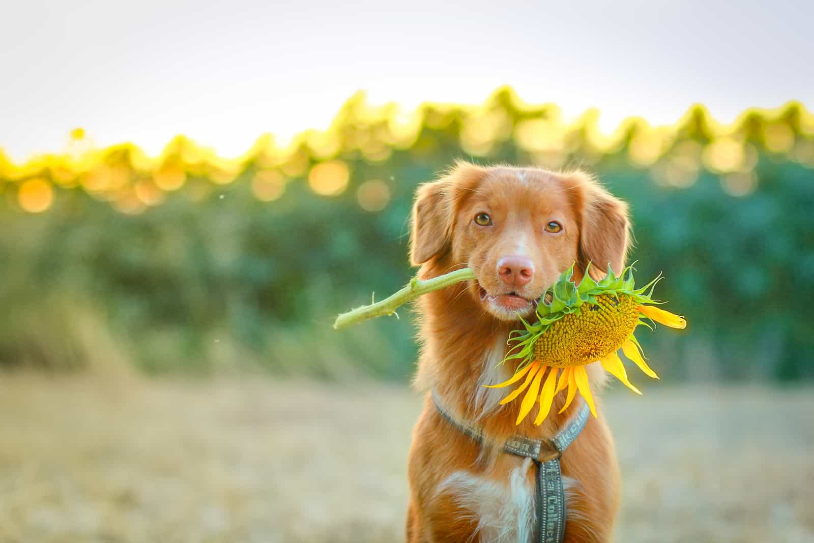 Dog holding a sunflower in iths mouth