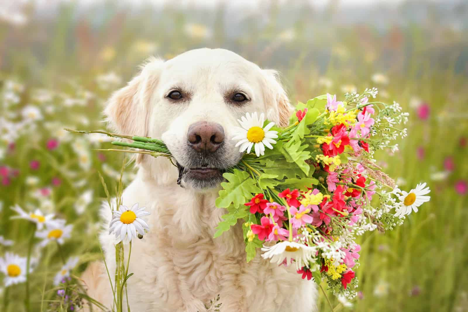 Dog sitting with flowers in the mouth in a meadow