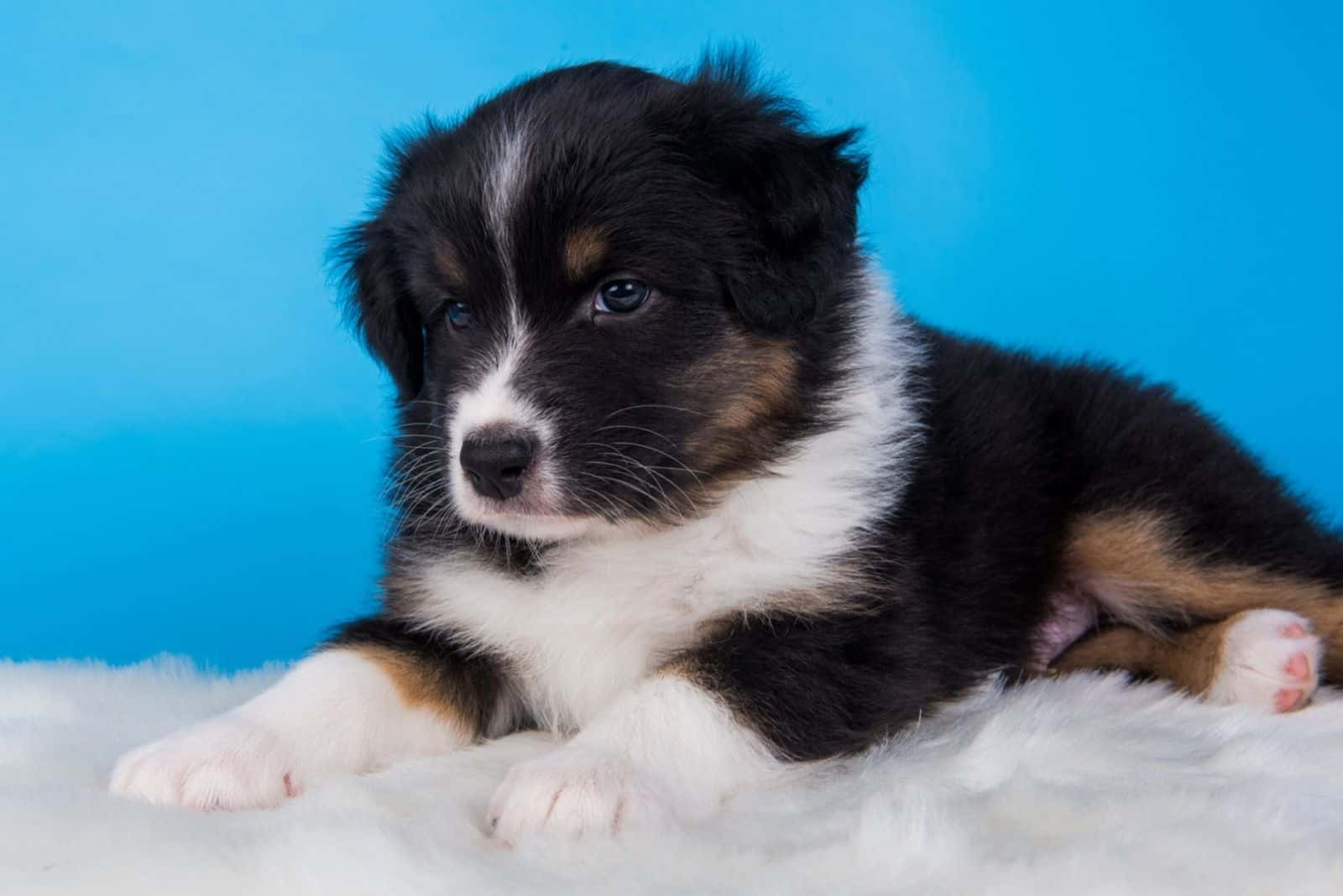 Dog with tri-color black, brown and white six weeks old, sitting on blue background.