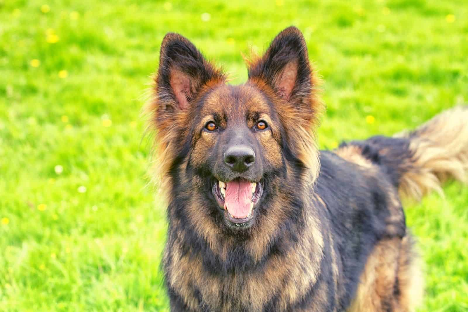 Excited German Shepherd Dog stood on grass barking at the camera