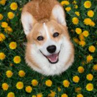 Happy corgi dog sitting in dandelions in the grass