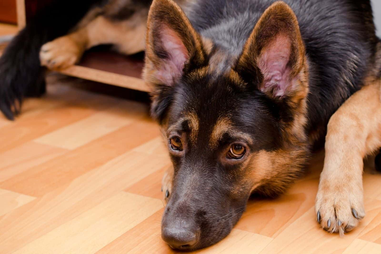 Funny sad German shepherd in a nightstand (using it as a crate)