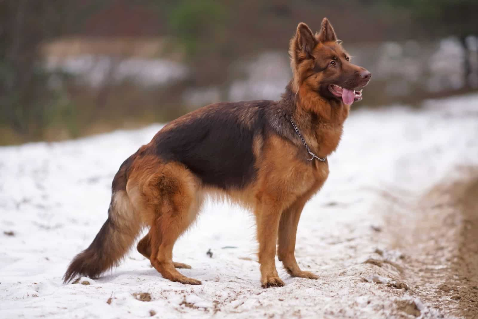 GSD with a chain collar posing outdoors standing on a snow in winter