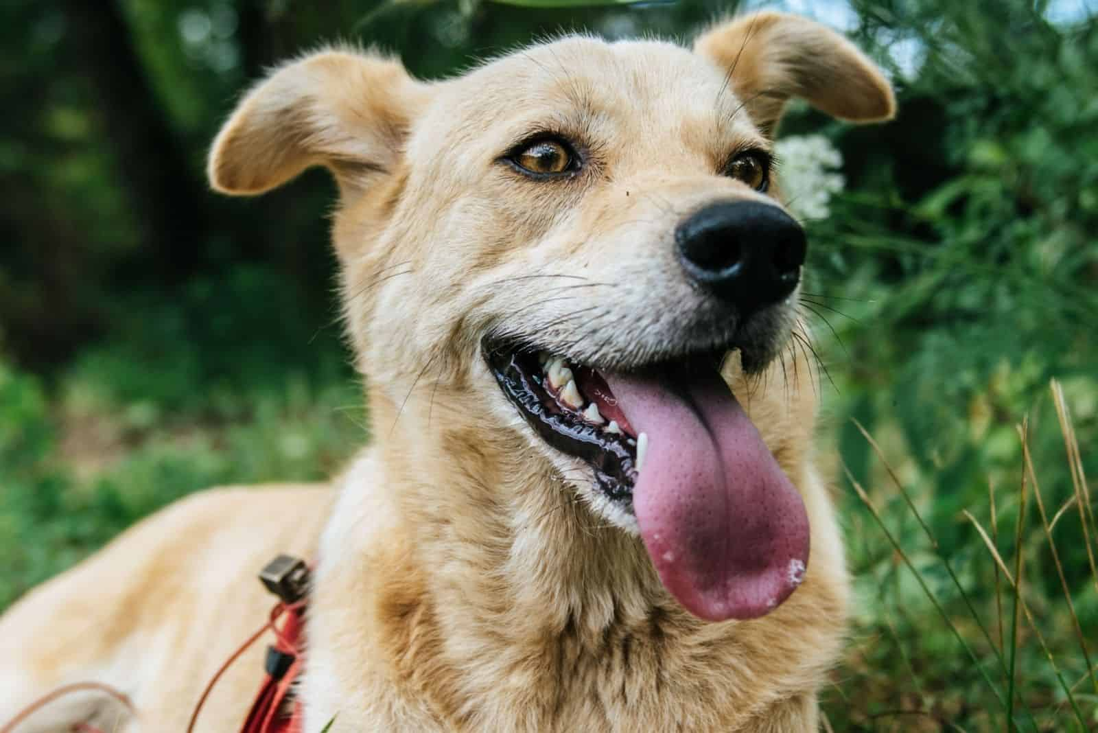 German Shepherd Husky mix dog smiling with tongue out