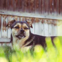 german shepherd pug mix sitting in grass