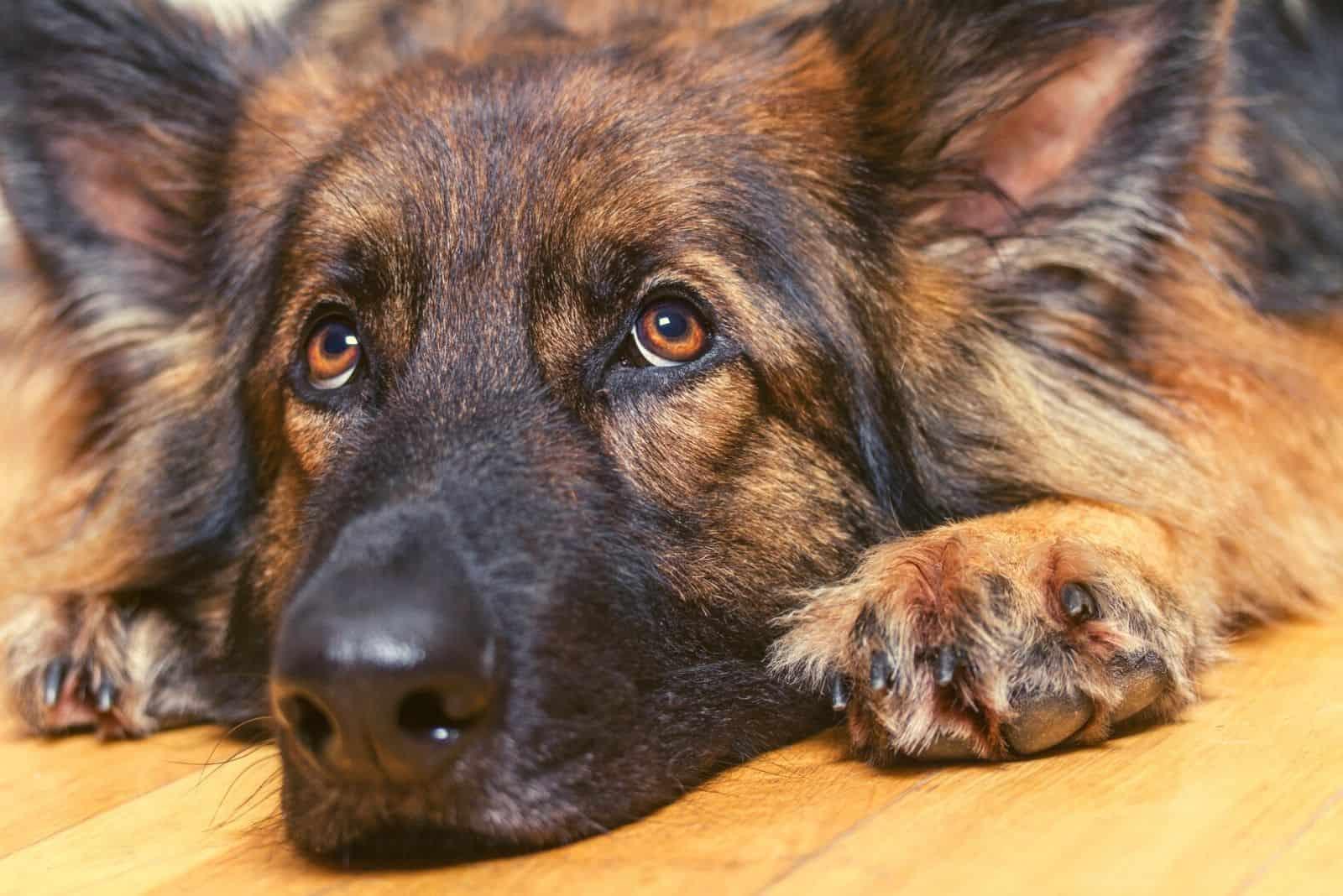 German Shepherd resting its head on a wooden floor inside looking up.