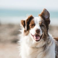 long-haired brown and white dog
