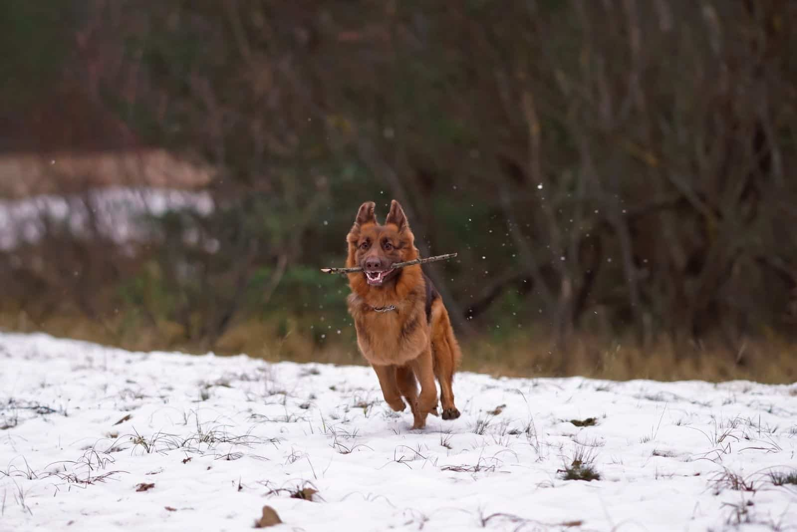 Happy long haired GSD running in the snow