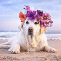 dog with flower crown on the beach