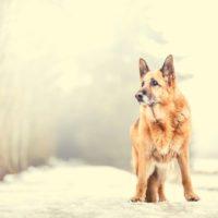 Dog portrait breed German Shepherd in the winter nature