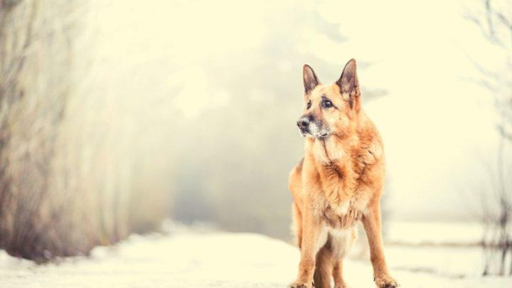 Isabella German Shepherd – Is This The Most Unique German Shepherd Color?