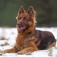Adorable red and brown (or liver) long-haired German Shepherd dog with a chain collar posing outdoors lying down on a snow in winter