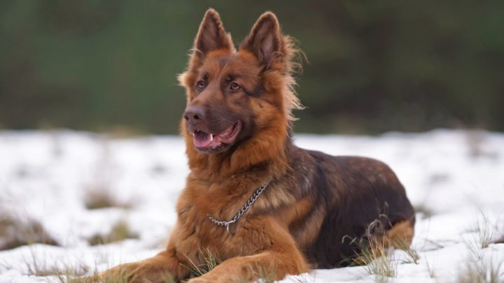 Liver German Shepherd: What's So Unusual About These GSDs?