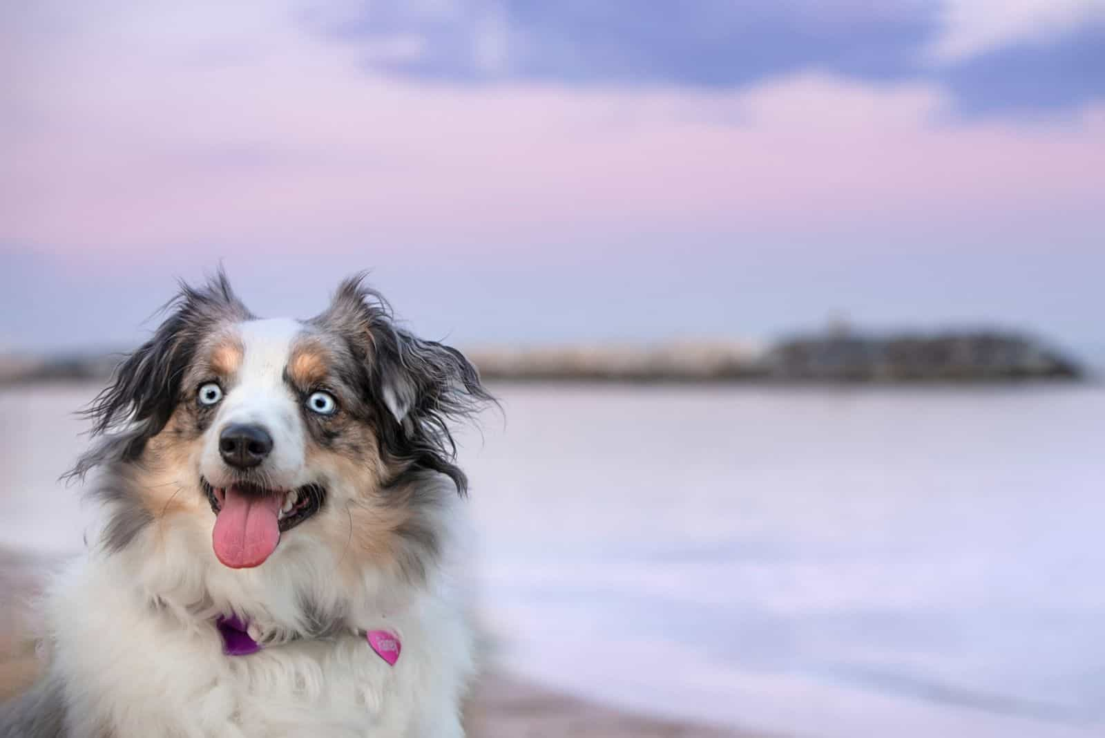 Mini Aussie at Blue Hour at Shore