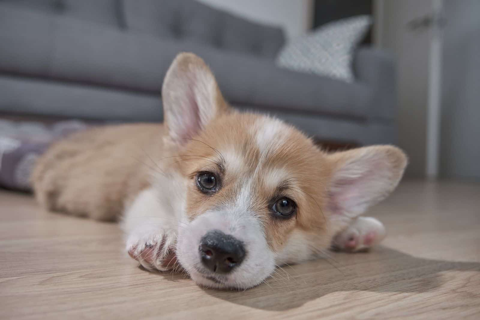 Pembroke Welsh Corgi puppy lying down on the floor