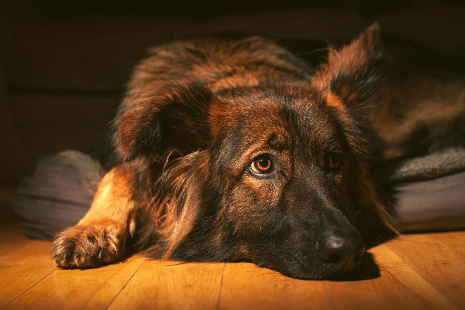 Relaxed German Shepherd Dog laid on his bed indoors on a wooden floor, lit with torch
