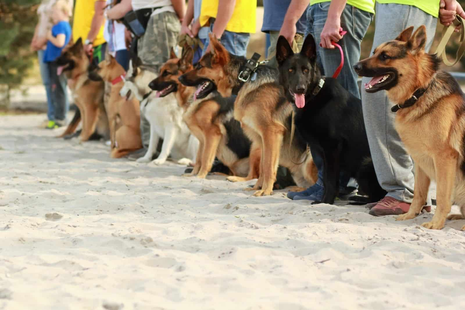 Row of german shepherd dogs on leashes next to their owners at the dog's exhibition