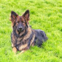 sable German Shepherd Dog laid on grass looking at the camera