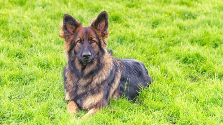 Sable German Shepherd: What You Didn't Know