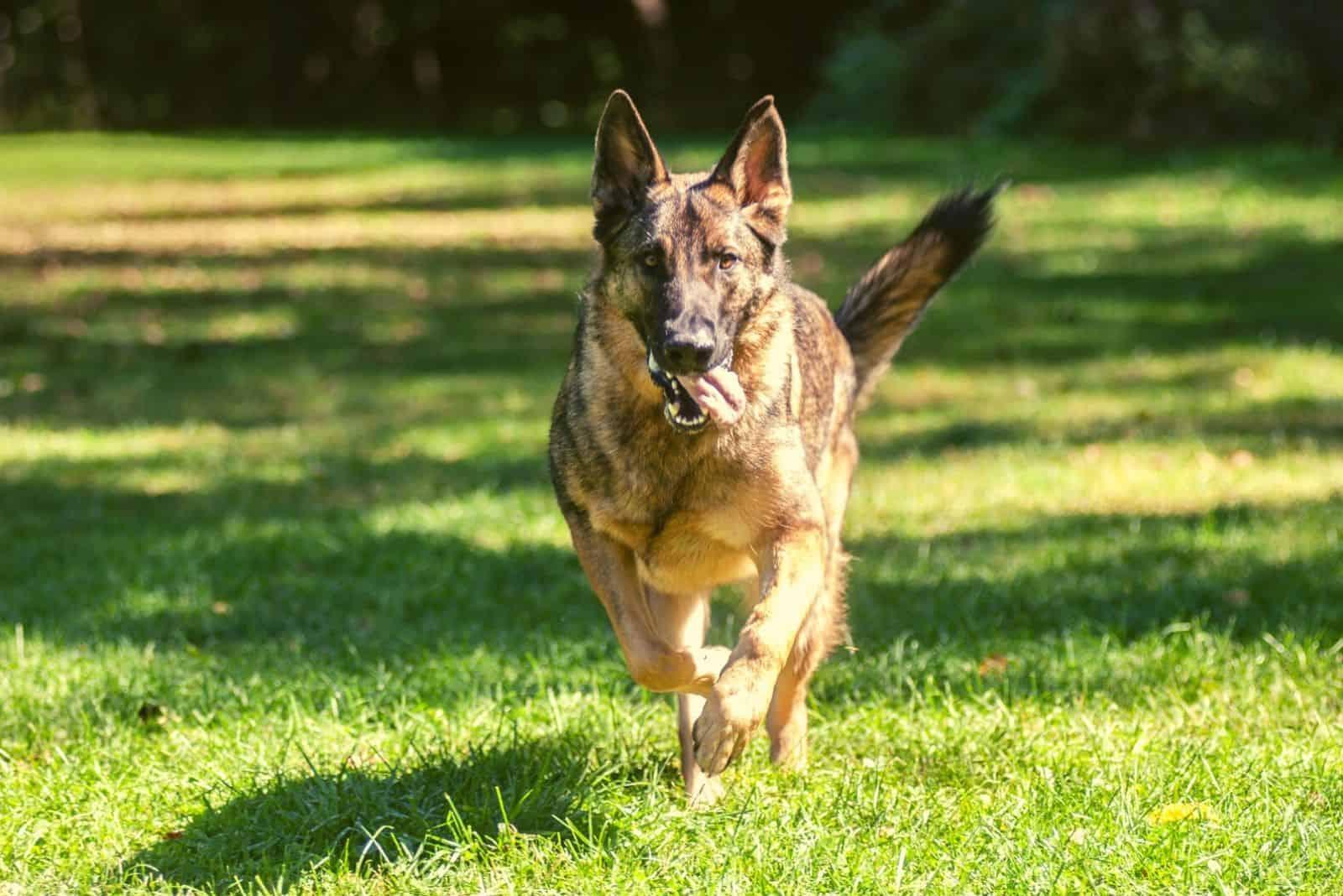 Sable German Shepherd dog running in the park