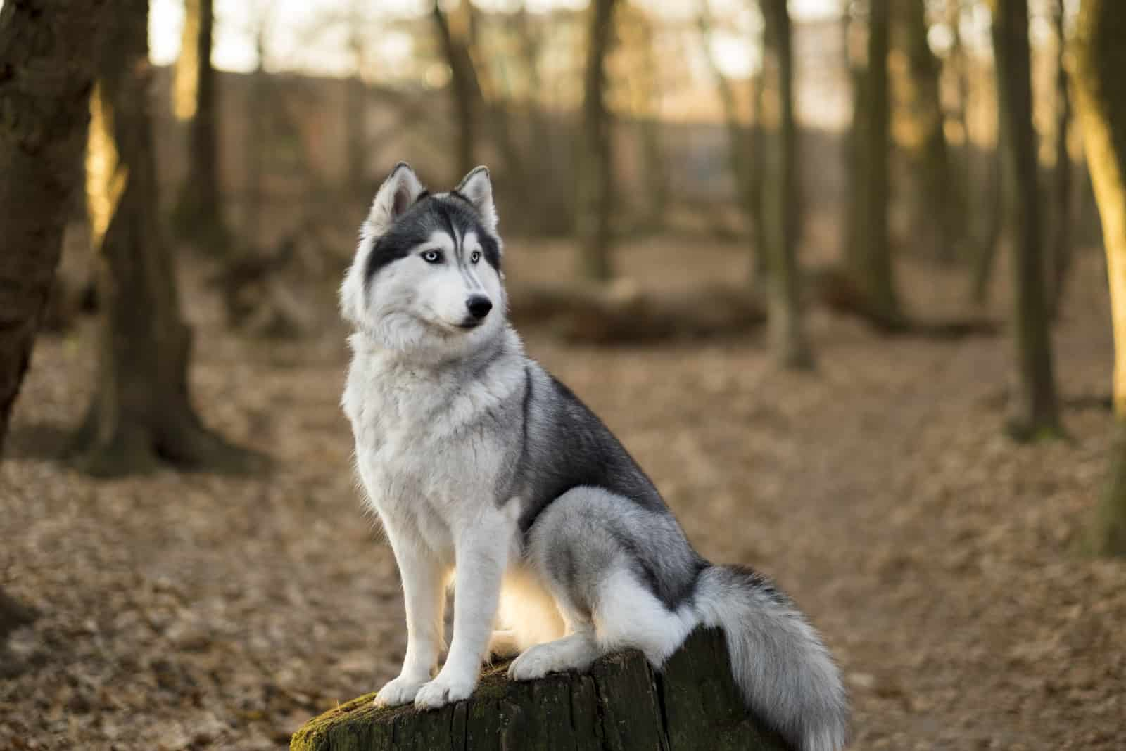 Siberian husky is sitting on the tree