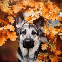 silver german shepherd among autumn leaves