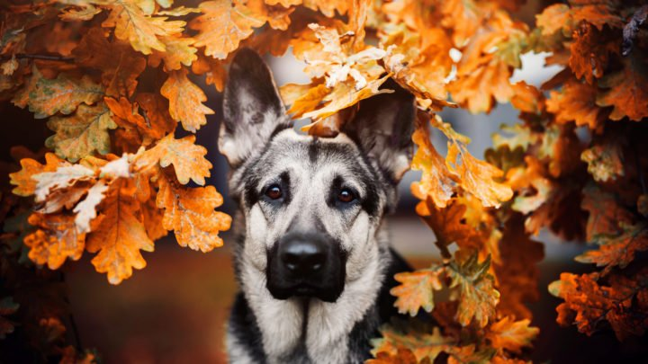 Silver German Shepherd: A GSD Worth The Gold
