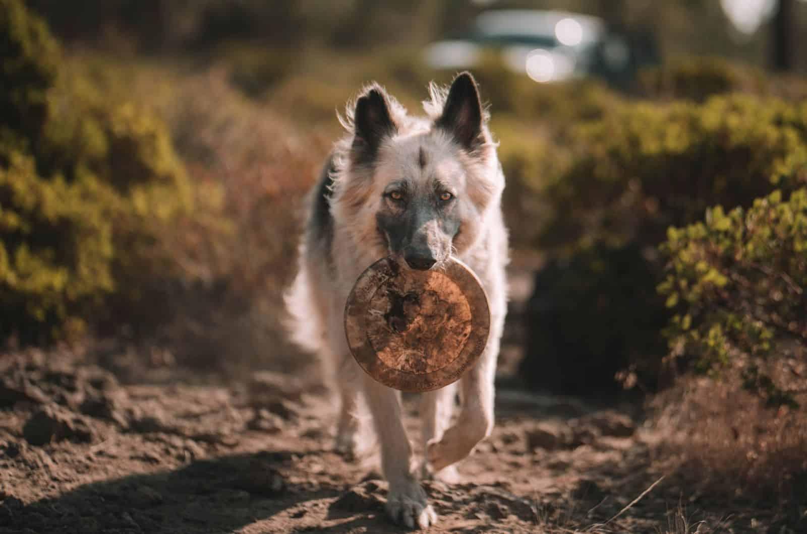 silver german shepherd with a frisbee
