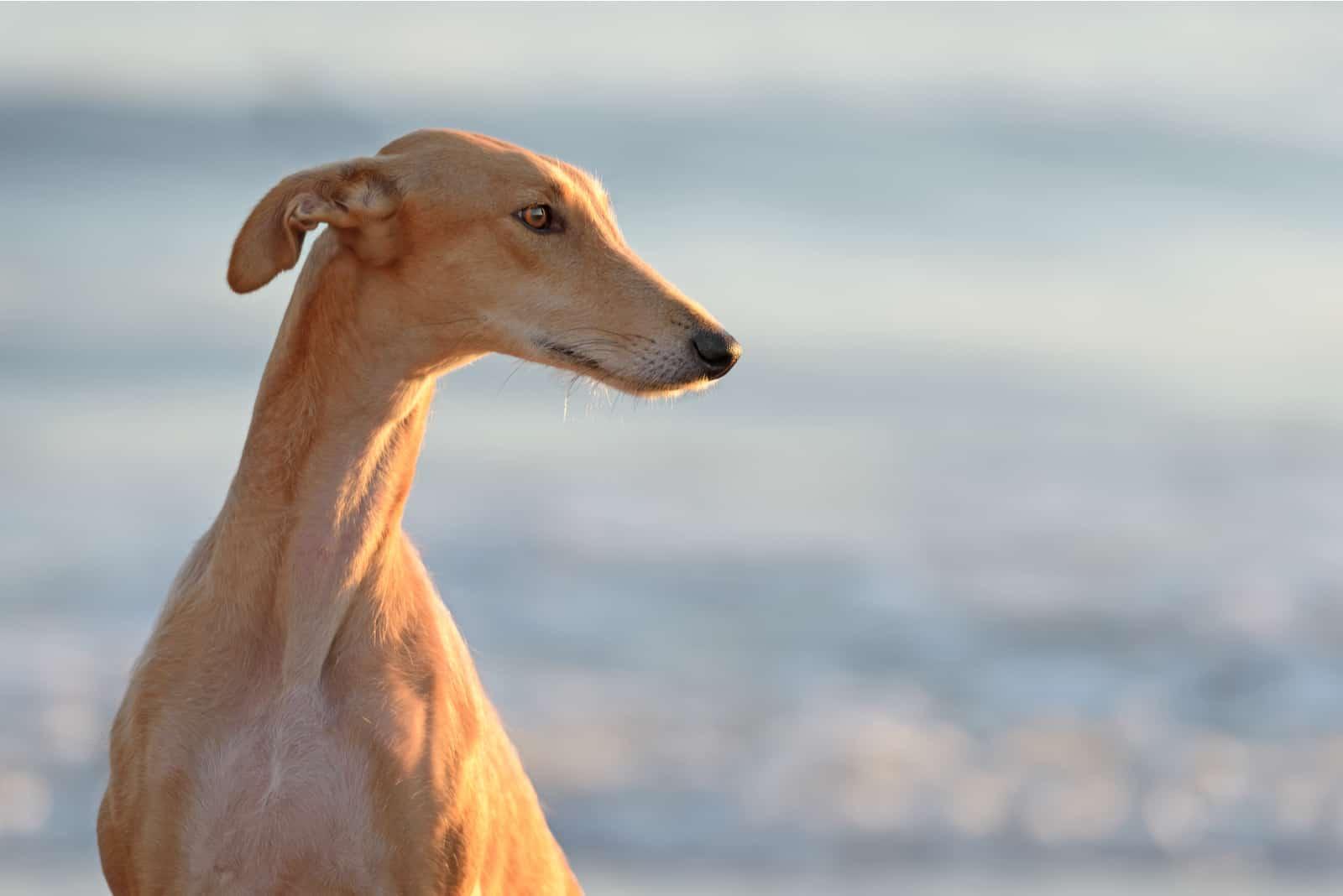 Spanish Greyhound dog outdoors at the beach