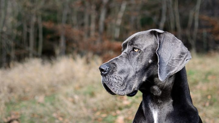 Top 10 Great Dane Breeders – Where To Find Great Dane Puppies For Sale