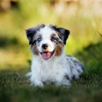 a small toy australian shepherd sitting down and looking at the camera