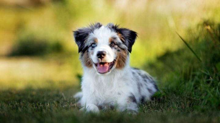 Toy Australian Shepherd: Your Guide To The Toy Aussie Dog