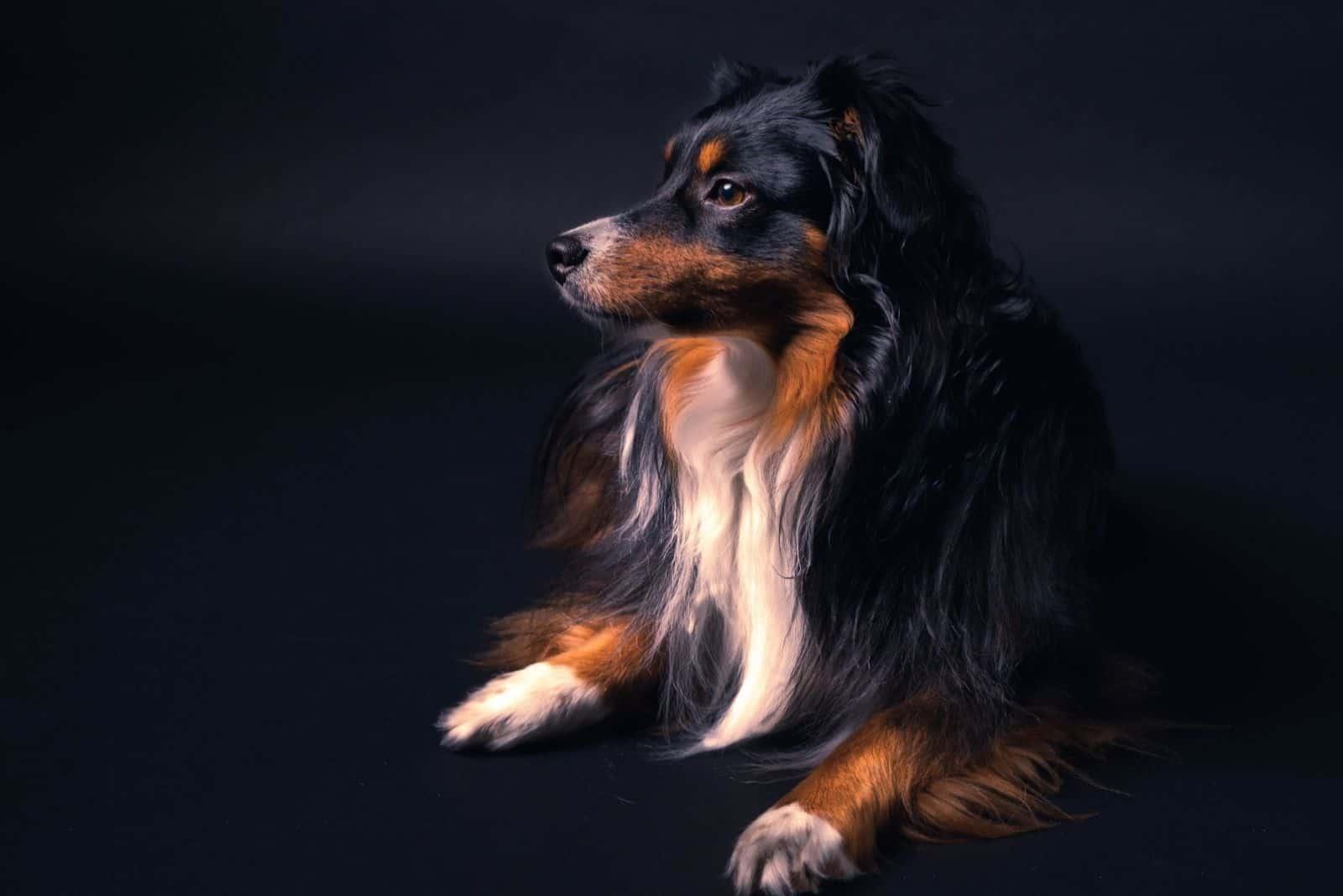 Toy Australian Shepherd dog with black background