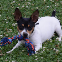 toy rat terrier playing outdoors