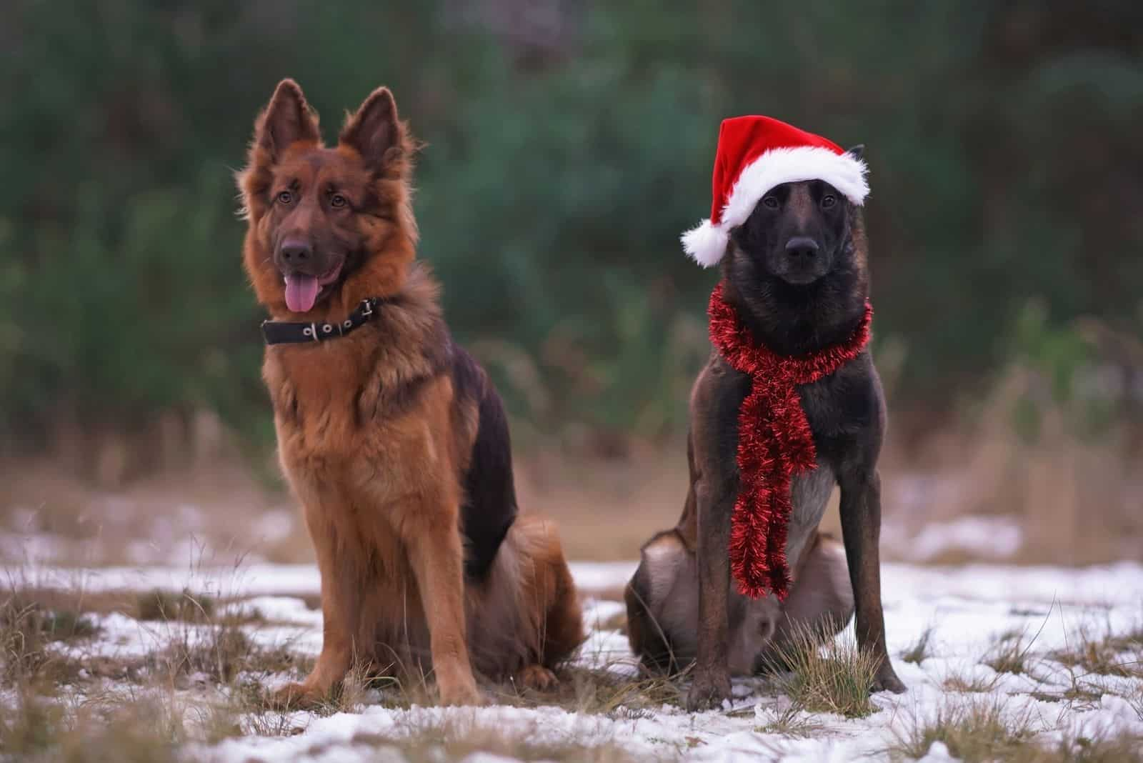 Two Sheepdogs sitting (liver long-haired German Shepherd and Belgian Malinois) on a snow in a forest
