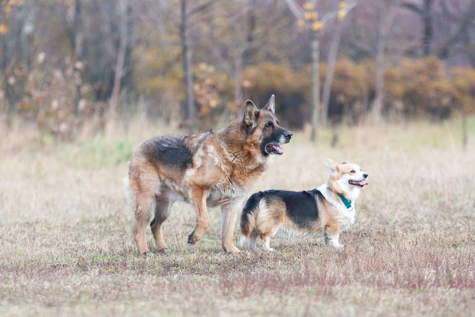 Two dogs breed German shepherd and Pembroke Welsh Corgi are in the Park