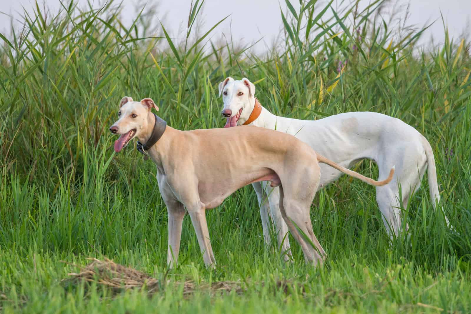 Two greyhound dogs standing on the grass outdoors