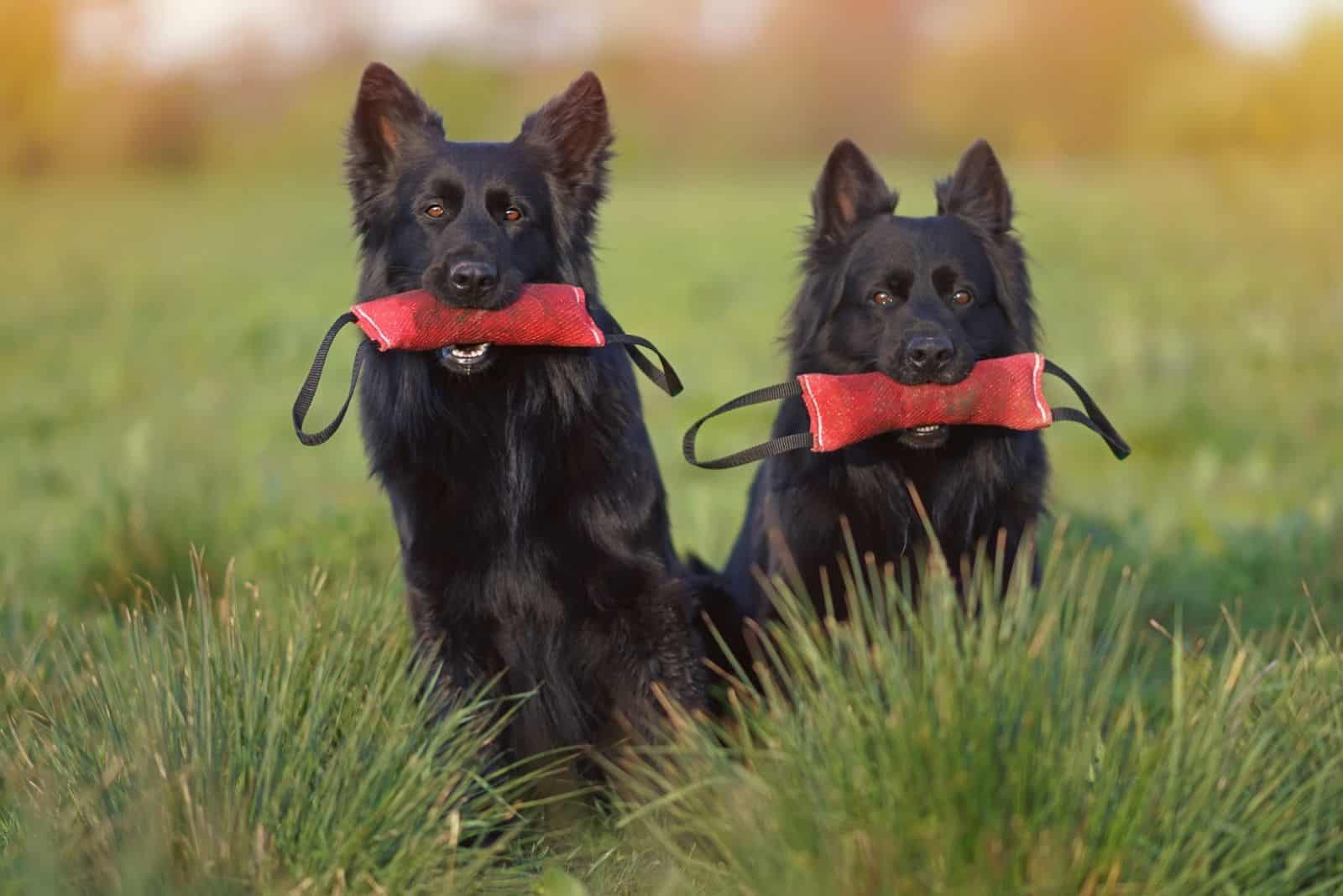 Two obedient long-haired black German Shepherd dogs sitting together in a green grass holding red soft bite tug toys in their mouths